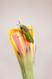 Jewel beetle Stock Image
