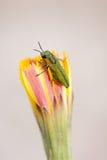 Jewel beetle. Closeup of a jewel beetle sitting on a flower Stock Image