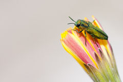 Jewel beetle Royalty Free Stock Photo