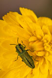 Jewel beetle. Closeup of a jewel beetle sitting on a flower Royalty Free Stock Image