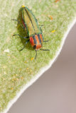 Jewel beetle. Closeup of a jewel beetle sitting on a flower Royalty Free Stock Photo