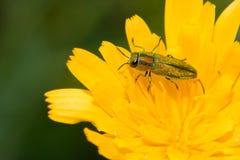 Jewel beetle. Closeup of a jewel beetle sitting on a flower Stock Photo