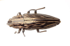 Jewel beetle Stock Images