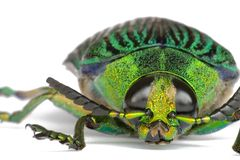 Jewel Beetle Stock Photography