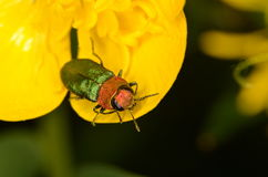 Jewel beetle Anthaxia nitidula. In nature Stock Images