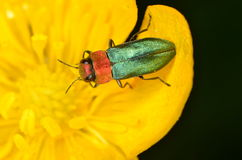 Jewel beetle Anthaxia nitidula. In nature Stock Image