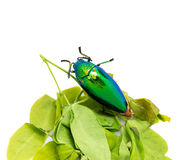 Jewel beetle Royalty Free Stock Image