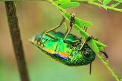 Jewel beetle. Eating in nationnal park stock image