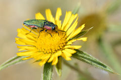 Jewel beetle on flower Royalty Free Stock Photography