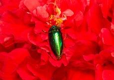 Jewel beetle on flowers Stock Photos
