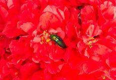 Jewel beetle on flowers Stock Images