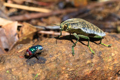 Jewel Beetle and fly Royalty Free Stock Images