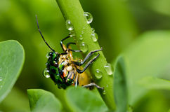 Jewel beetle in green nature Stock Photo