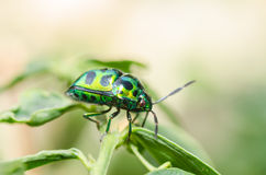 Jewel beetle in green nature Royalty Free Stock Image