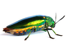 Jewel beetle isolated on white background Stock Images