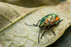 Jewel beetle larva Royalty Free Stock Image