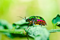 Jewel beetle on leaf in green nature Royalty Free Stock Photography