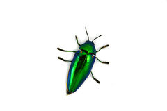 Jewel beetle Royalty Free Stock Images