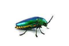 Jewel beetle Stock Photos
