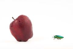 Jewel beetle or metallic boring beetle close up Stock Photos