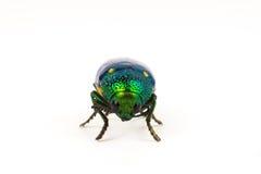 Jewel beetle or metallic boring beetle close up Stock Photography