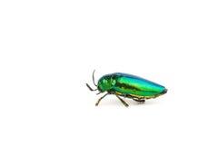 Jewel beetle or metallic boring beetle close up Royalty Free Stock Image