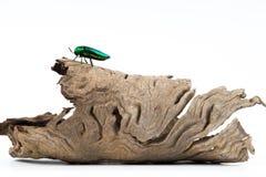 Jewel beetle or metallic boring beetle close up Royalty Free Stock Images
