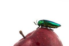 Jewel beetle or metallic on fresh apple boring beetle close up Stock Photos