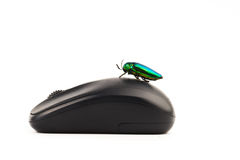 Jewel beetle or metallic on mouse boring beetle close up Stock Images