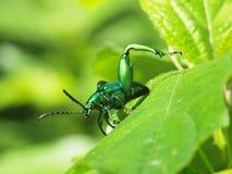 Jewel beetle, Metallic wood-boring beetle, Buprestid. Royalty Free Stock Photography