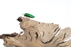 Jewel beetle or metallic wood boring beetle close up Royalty Free Stock Image