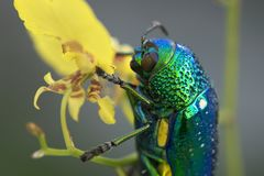 Jewel beetle or Metallic wood-boring beetle in Southeast Asia. Royalty Free Stock Photos