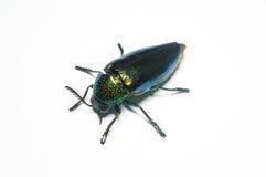 Jewel beetle, Metallic wood-boring beetle in Thailand Stock Photos