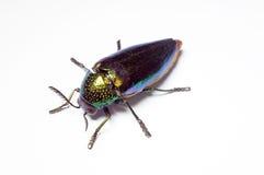 Jewel beetle, Metallic wood-boring beetle in Thailand Royalty Free Stock Image