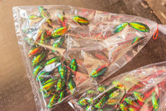 Jewel Beetle or Metallic Wood-boring (Buprestid) in plastic sack Royalty Free Stock Images