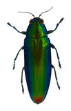 Jewel beetle Royalty Free Stock Photos