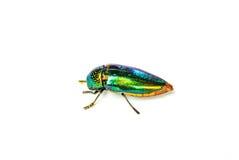 Jewel beetle. On white background Royalty Free Stock Image