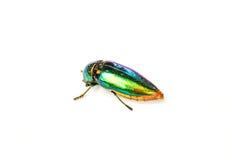 Jewel beetle Stock Photography