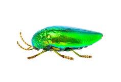 Jewel beetle  on white background. Jewel beetle, beautiful bug  on white background Stock Photos