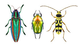 Jewel beetles. Jewel beetle (metallic wood-boring beetle), flower chafer and flower long-horn beetle isolated on a white background stock photos