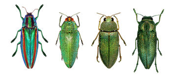 Jewel beetles. (metallic wood-boring beetles) isolated on a white background royalty free stock image