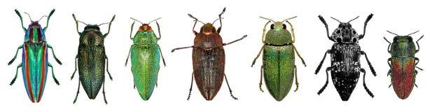 Jewel beetles Royalty Free Stock Photos