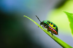 Jewel bug. In the green nature royalty free stock photos