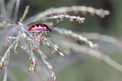 Jewel bug Stock Photo