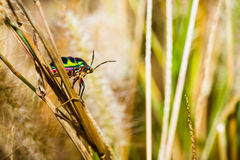 Jewel Bug Royalty Free Stock Image