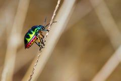 Jewel Bug Stock Images