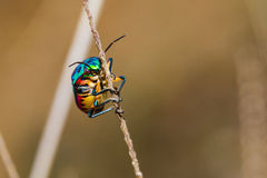 Jewel Bug Royalty Free Stock Photography