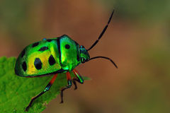 Free Jewel Bug Royalty Free Stock Photography - 9996587