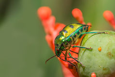 Jewel Bug Stock Image