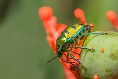 Jewel Bug Stock Image